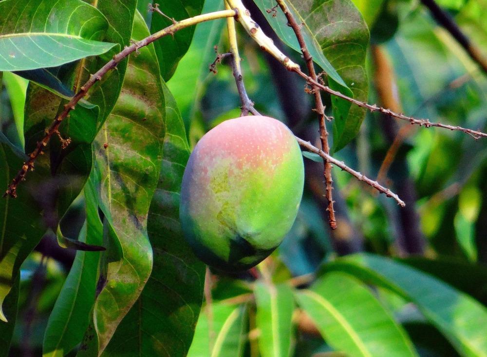 mango-321071_1920