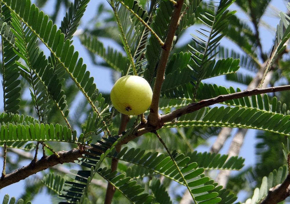 indian-gooseberry-337443_1920