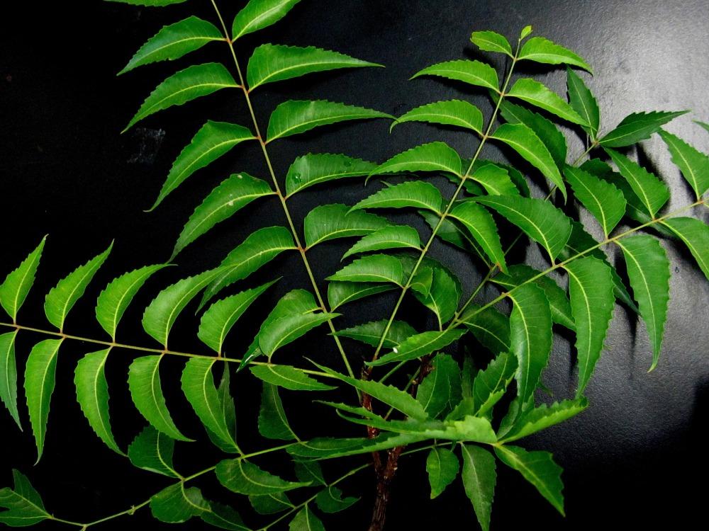 neem-leaves-651913_1920